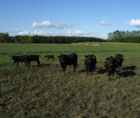 cattle images wikimedia 1