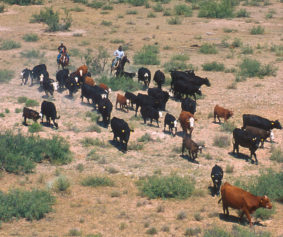 Cattle_round_up
