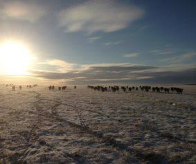 140126 or 131109 Cattle, Field by Ryan Vig