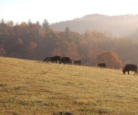cattle fall landscape